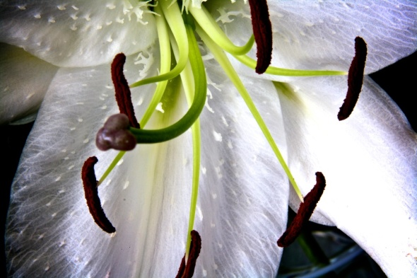 Close Up of White Lilly in Bloom
