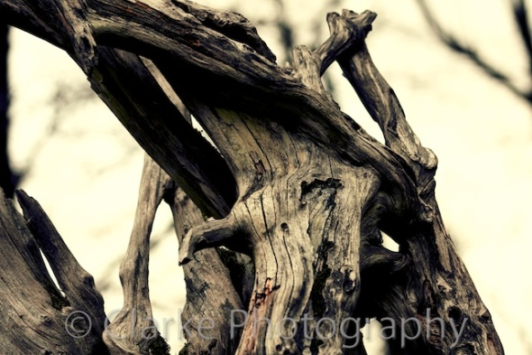 Dried Tree Roots