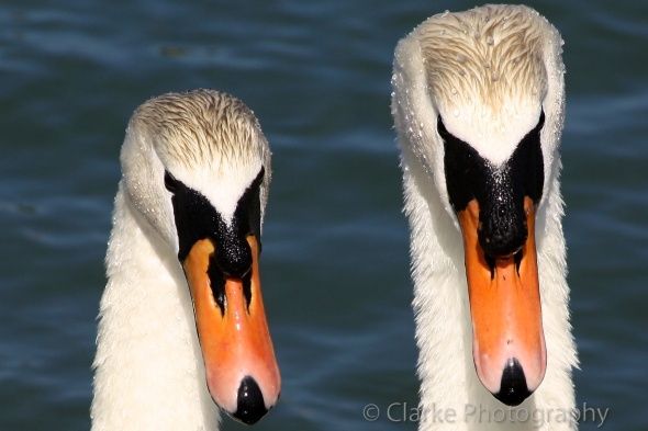Swans facing camera